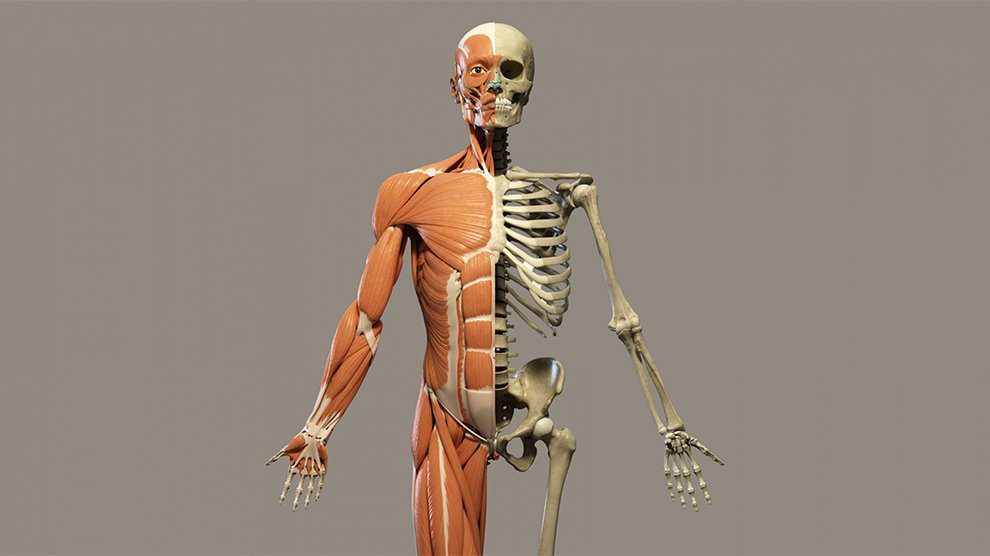 How Many Bones in The Human Body?