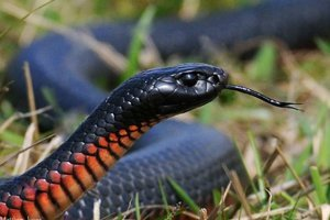 red-bellied-black-snake-interesting-facts