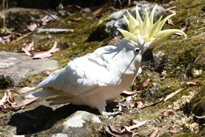sulphur-crested-cockatoo-interesting-facts