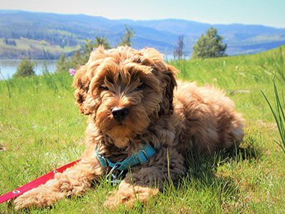 australian-labradoodle-food-allergy
