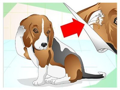 beagle-lab-mix-ear-infections