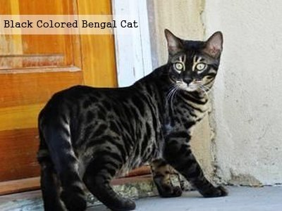 black-colored-bengal-cat