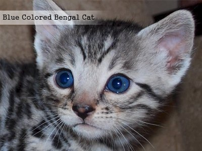 blue-colored-bengal-cat