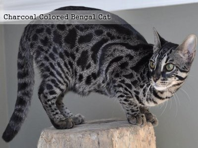 charcoal-colored-bengal-cat