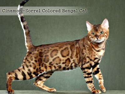 cinamon-sorrel-colored-bengal-cat