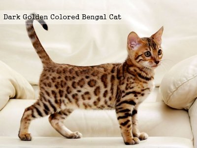 dark-golden-colored-bengal-cat