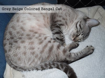 grey-beige-colored-bengal-cat