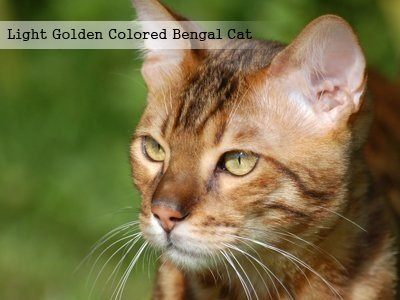 light-golden-colored-bengal-cat