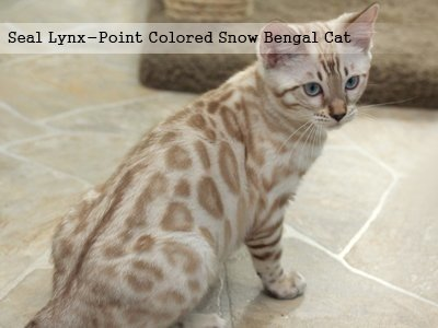 seal-lynx-point-colored-snow-bengal-cat