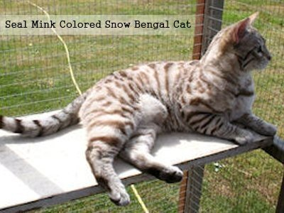 seal-mink-colored-snow-bengal-cat