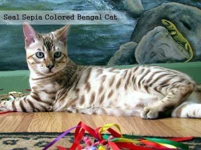 seal-sepia-colored-bengal-cat