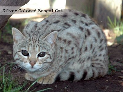 silver-colored-bengal-cat