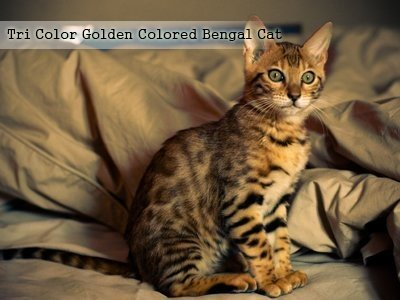 tri-color-golden-colored-bengal-cat