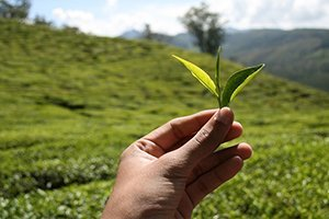 tip-for-buying-tea-leaves