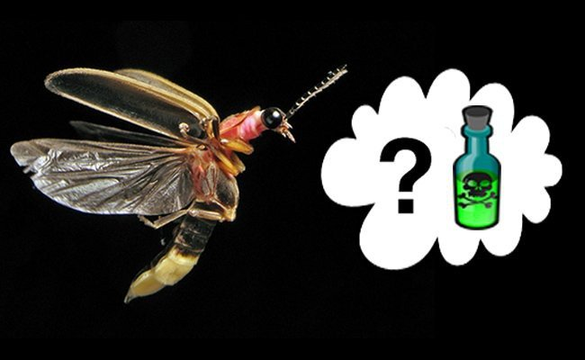 are-lightning-bugs-poisonous-to-humans-and-other-vertebrate-predators