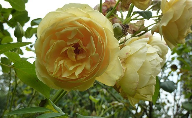 rose-graham-thomas - Most Charming Yellow Flowers