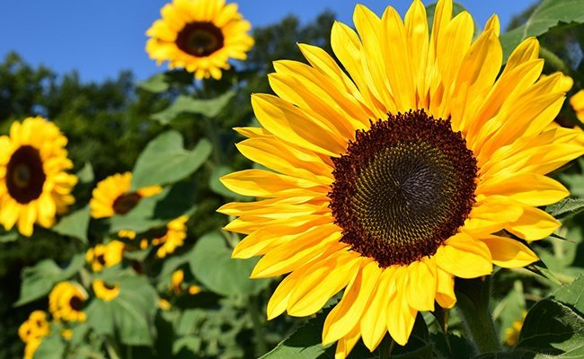 sunflower - Most Charming Yellow Flowers