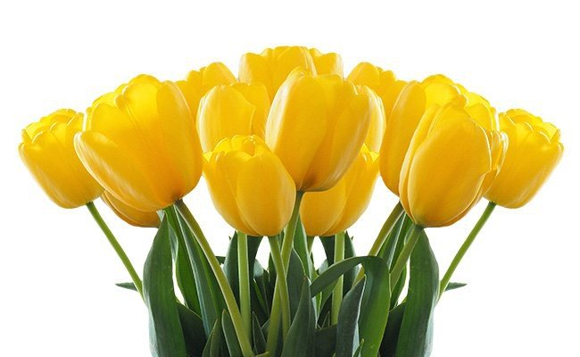 tulips - Most Charming Yellow Flowers