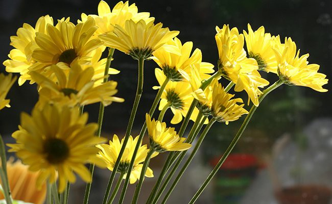 yellow-carnation - Most Charming Yellow Flowers