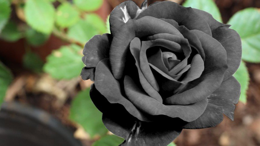 black-flower - Poetic Language Of Flowers