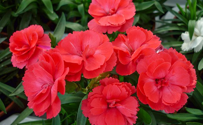 red-carnation-red-flowers