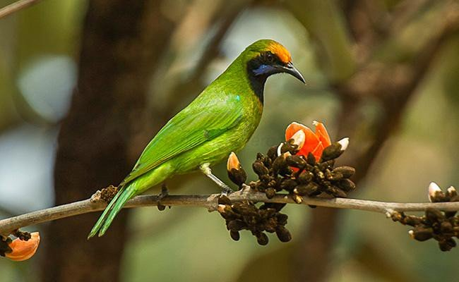 golden-fronted-leafbird-songbirds