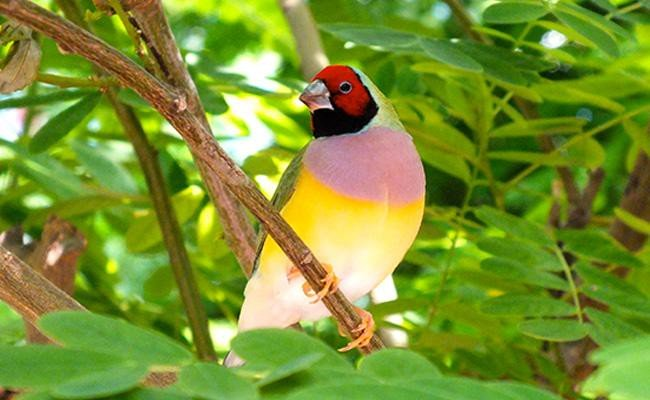 gouldian-finch-songbirds