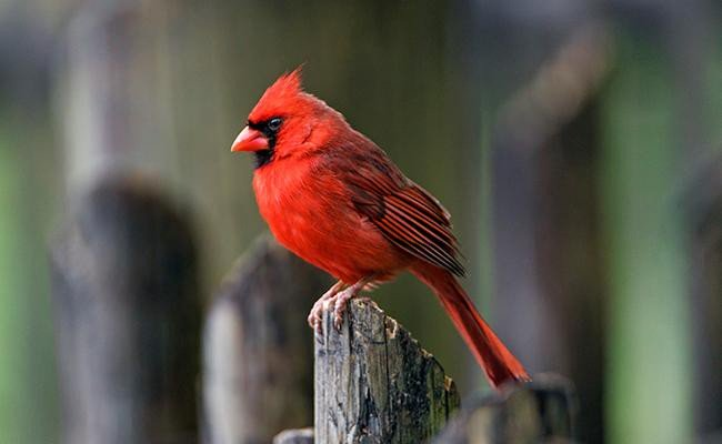 northern-cardinal-songbirds