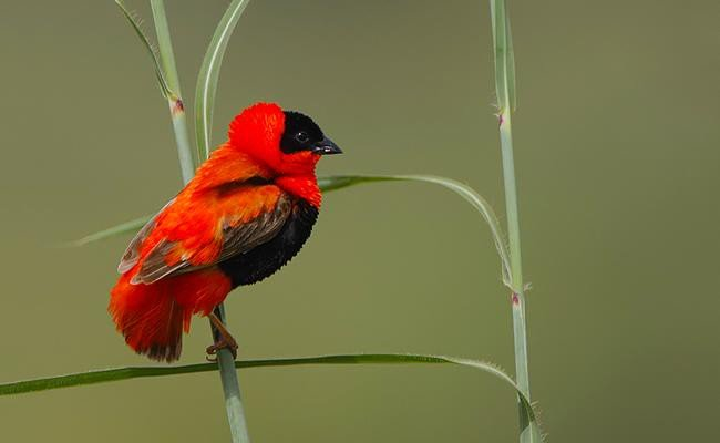 northern-red-bishop-songbirds