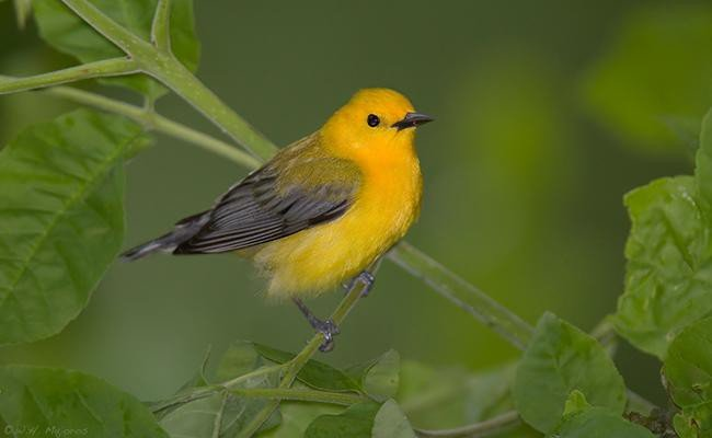 prothonotary-warbler-songbirds