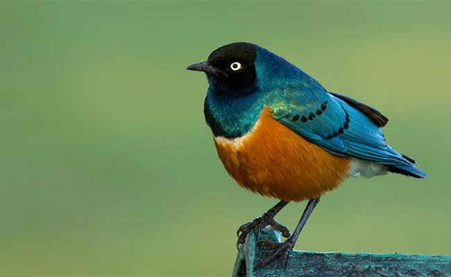 superb-starling-songbirds