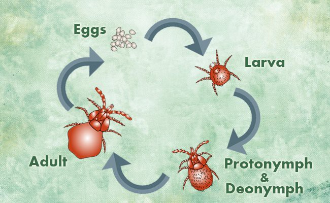 spider-mites-life-cycle