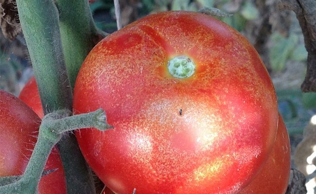 spider-mites-on-tomatoes
