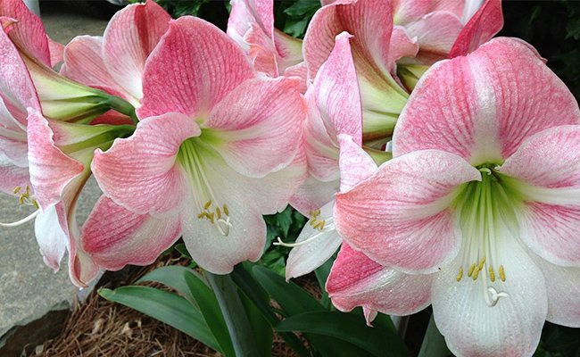 riveting-facts - Stargazer Lily