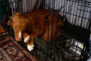 keeping-the-dog-confined-in-the-crate